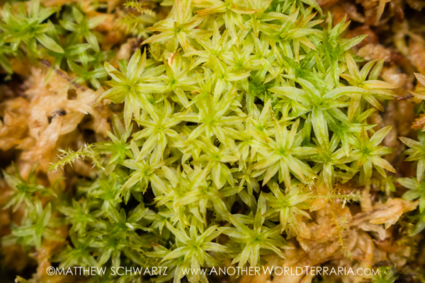 Atrichum species moss
