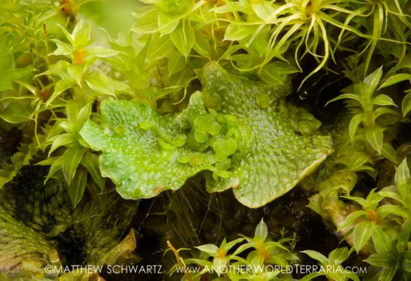Marchantia polymorpha liverwort with gemma