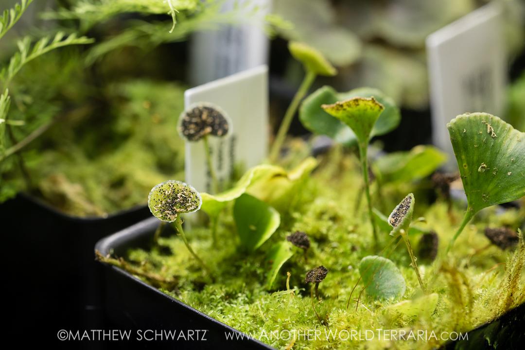 Elaphoglossum peltatum fma standleyi