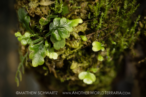 Asplenium NOID with moss on mount