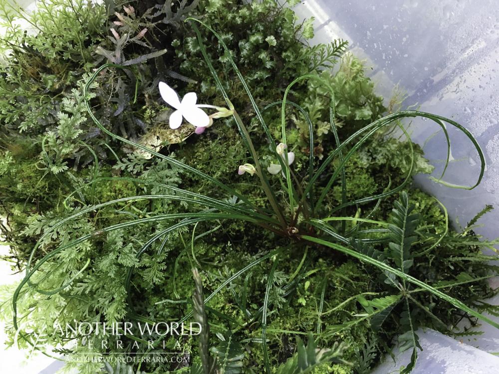 Begonia bogneri growing in a filmy fern bin