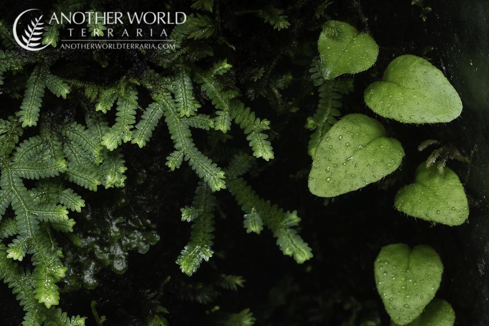 Selaginella and Microgramma growing on drip wall