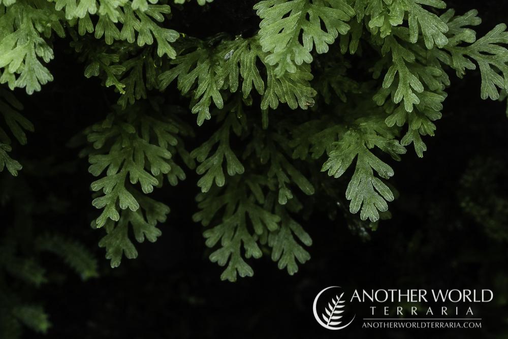 Filmy fern sp. Borneo