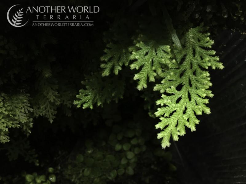 Selaginella sp White Peru