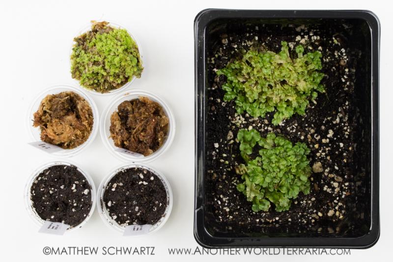Liverwort gemmae experiment