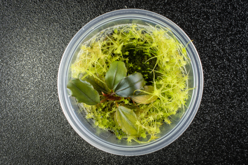 Regrown Sphagnum moss which is smothering a Bucephalandra plant.