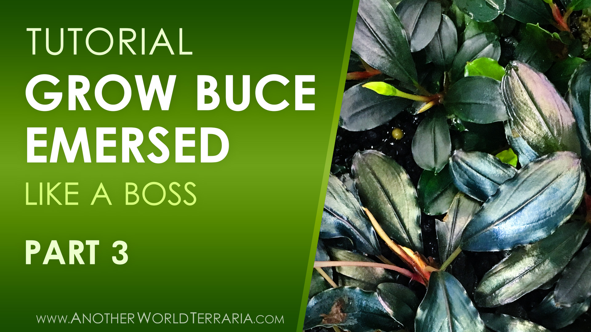 How to Grow Buce Emersed (Like a Boss) - Part 3