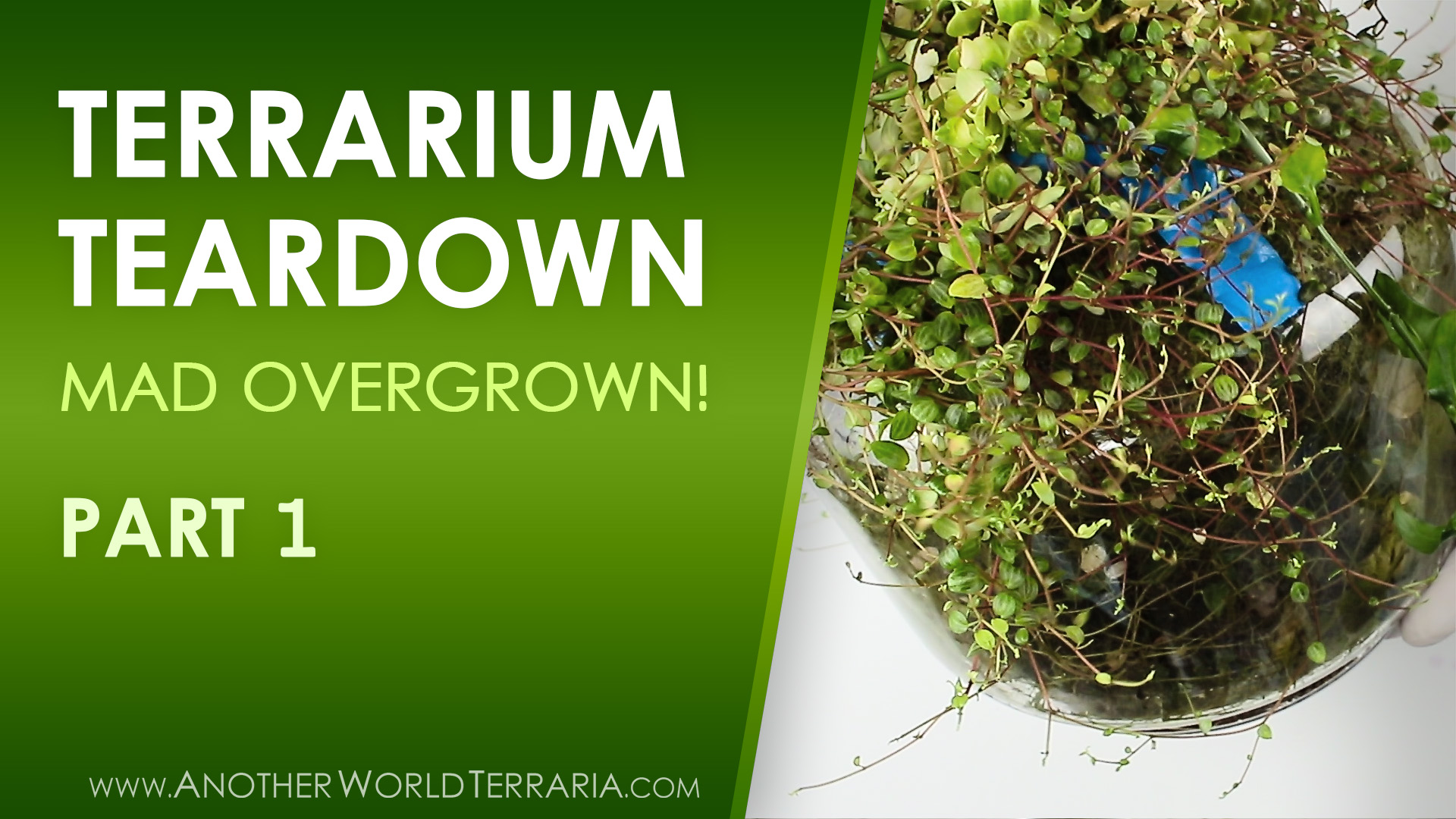 Rare Plant Terrarium Teardown (Crazy Overgrown!) Part 1