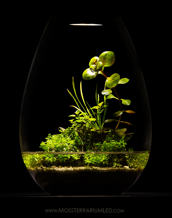 Wabi Kusa inside a Moss Terrarium LED Light