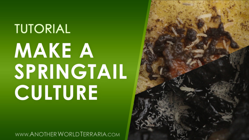 How to make a springtail culture