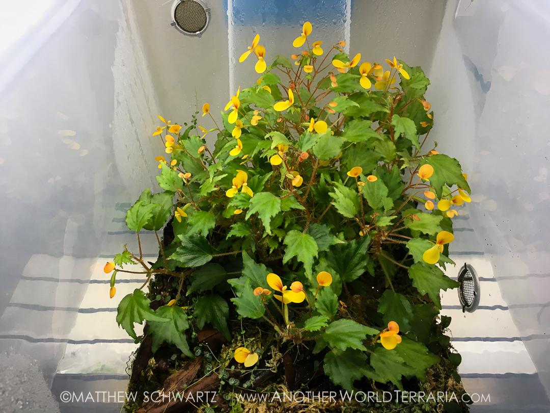 Begonia prismatocarpa blooming clump