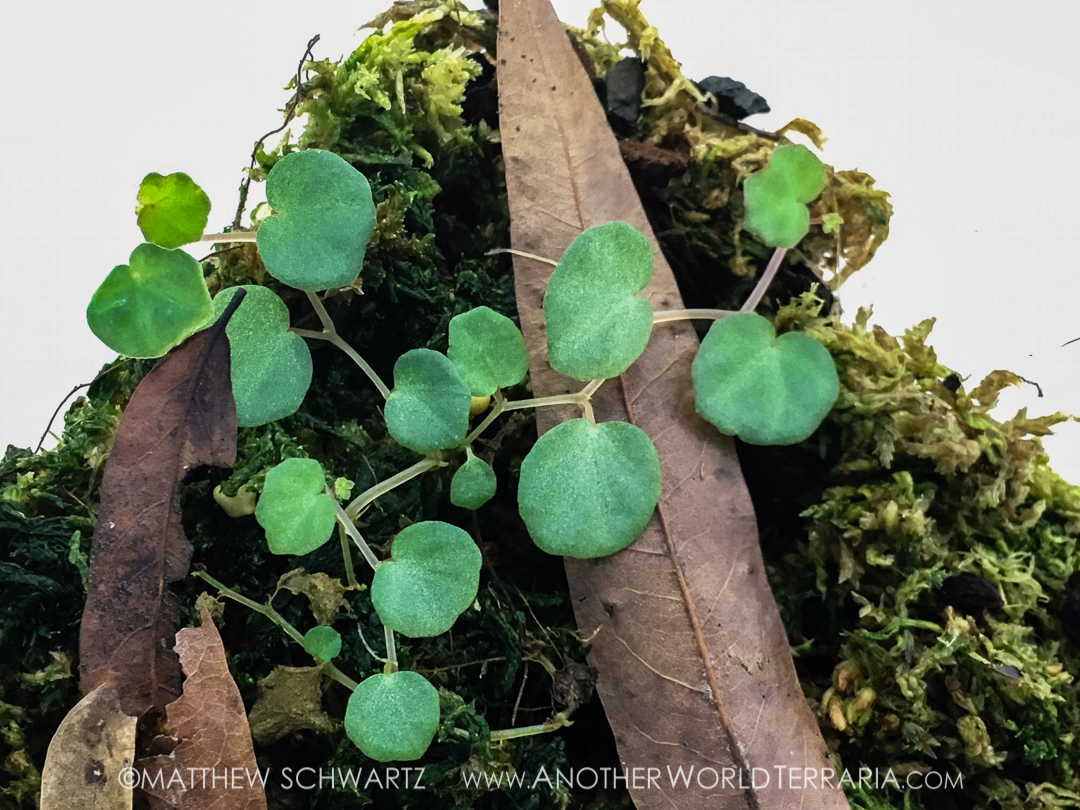 Begonia lichenora