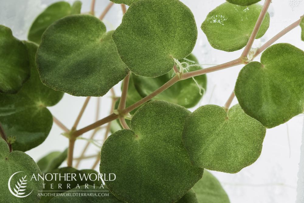 Begonia lichenora foliage close up