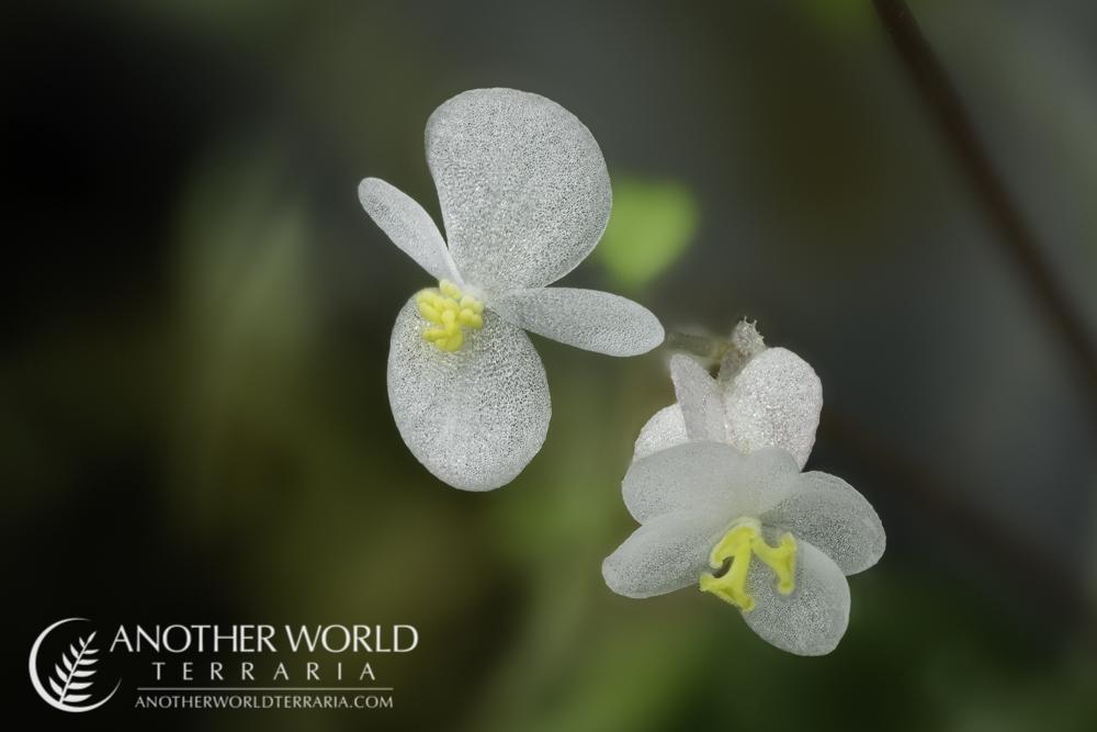 Begonia lichenora blooms macro