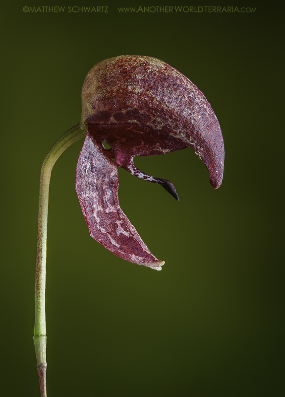 Bulbophyllum maquilingense (Red Form) bloom