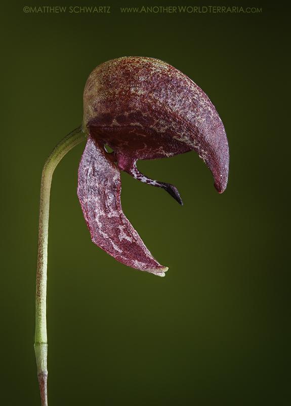 Bulbophyllum maquilingense (Red Form) bloom