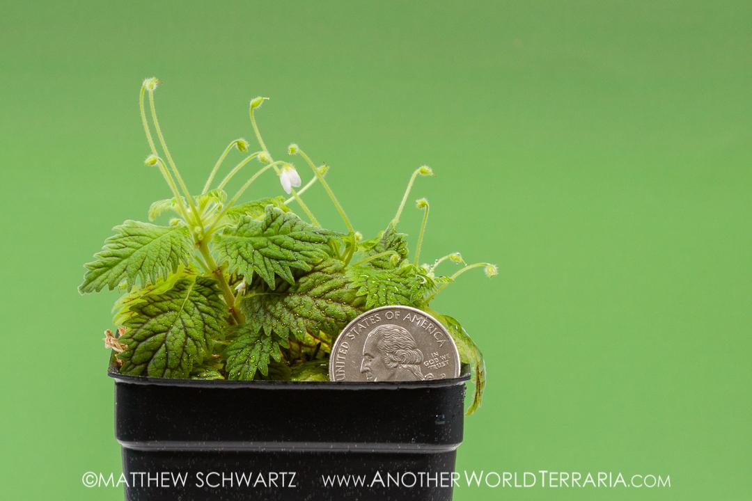Amalophyllon clarkii