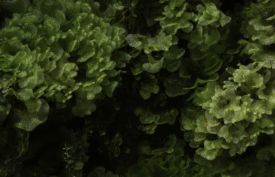 Micro liverwort species (possibly Fossombronia)