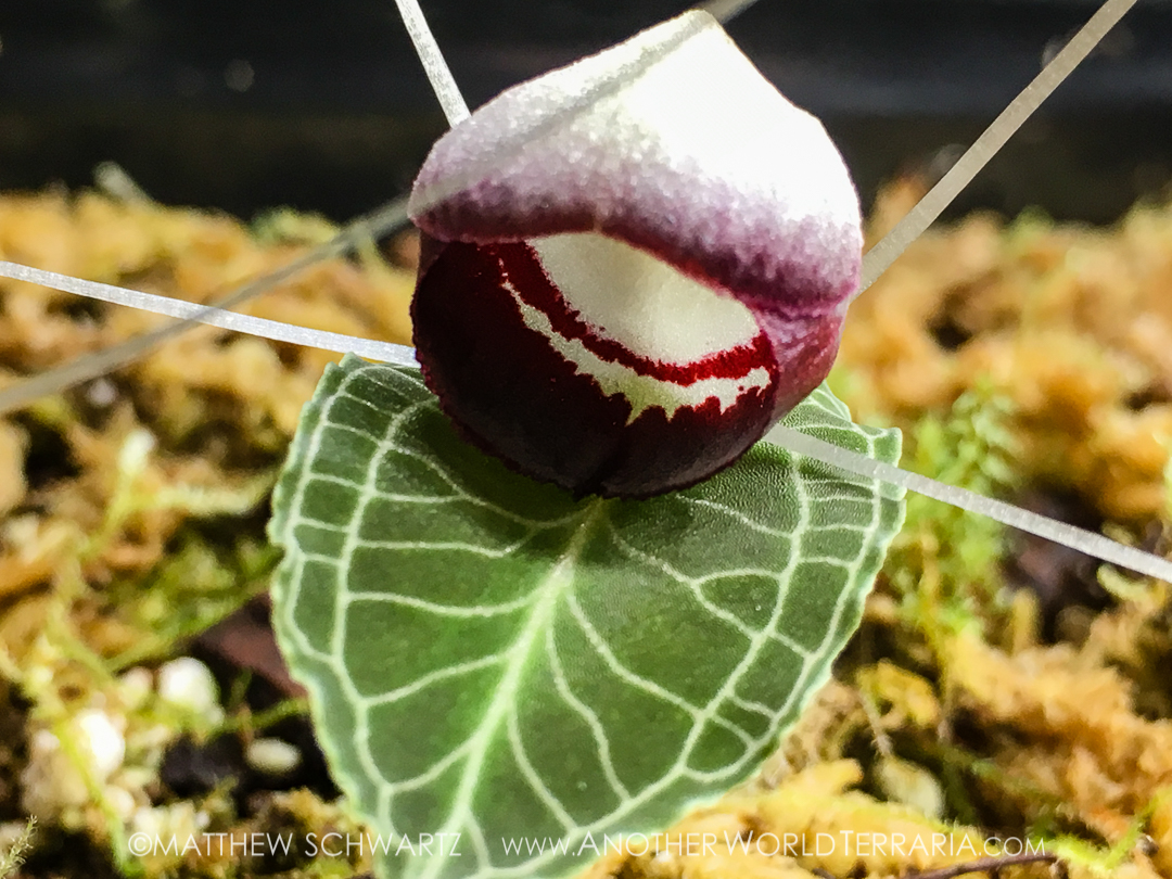 Corybas sp Phillippines bloom