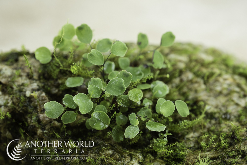 Adiantum mariesii on a rock