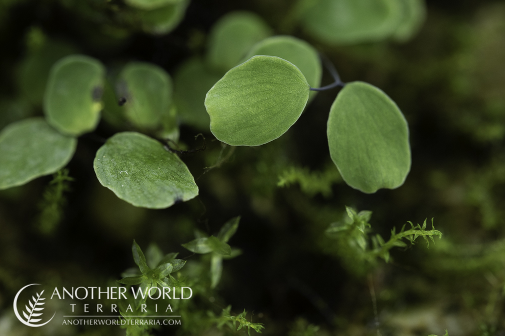 Adiantum mariesii pinna close up