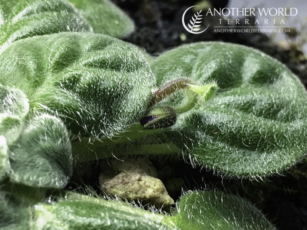 Petrocosmea sp bloom spike forming