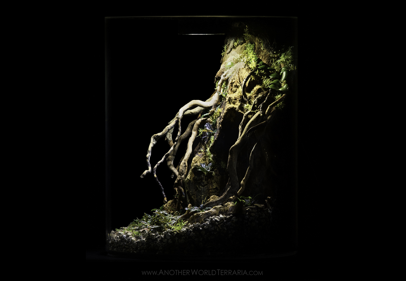 Bucephalandra terrarium with rock and roots