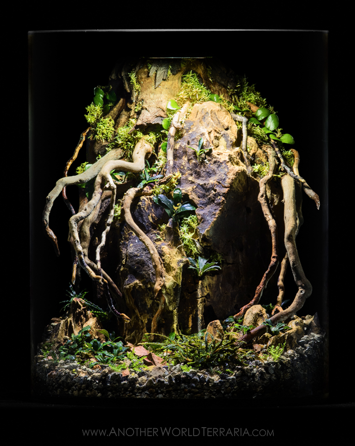 Bucephalandra terrarium with roots over rock