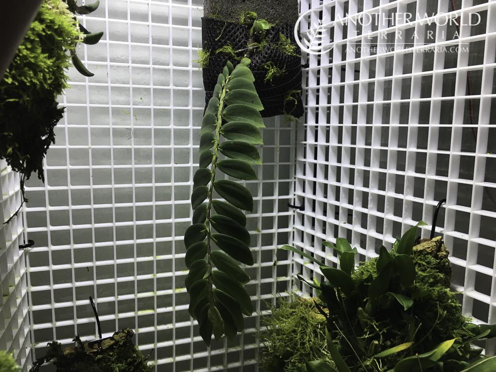 Elatostema sp China in grow tank