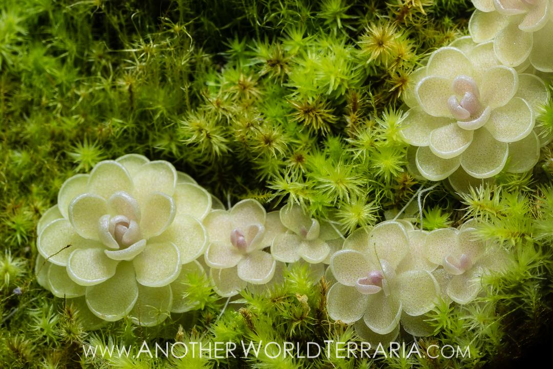 Pinguicula esseriana, and moss