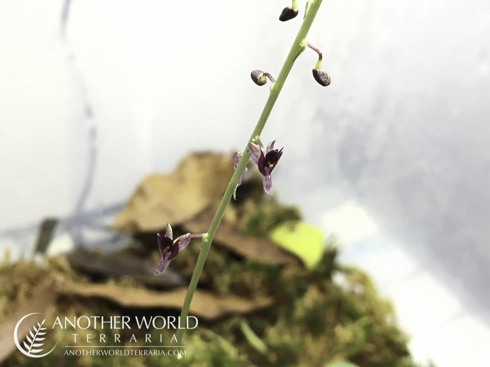 Crepidium sp. orchid blooms