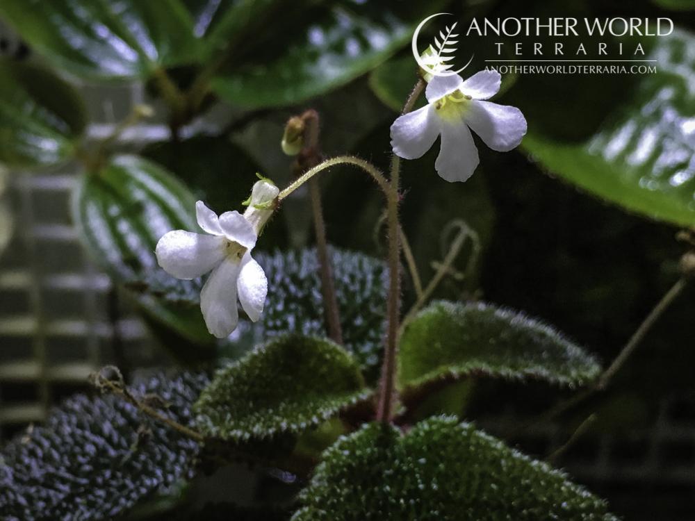 Reldia minutiflora blooming