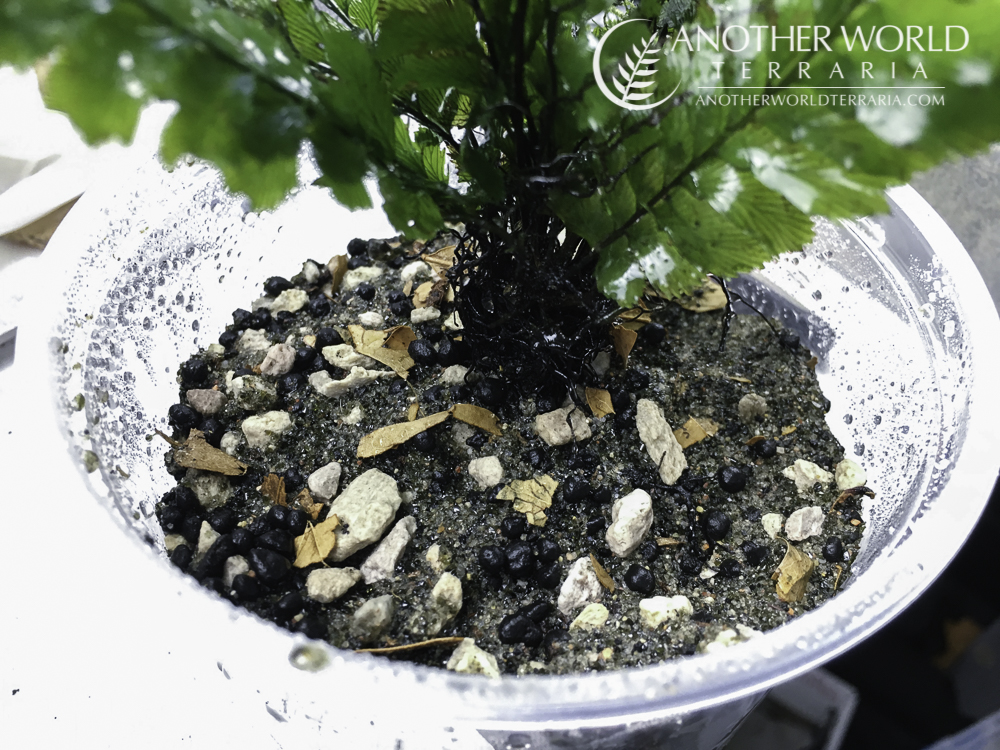 Substrate mix with potted Cephalomanes javanicum
