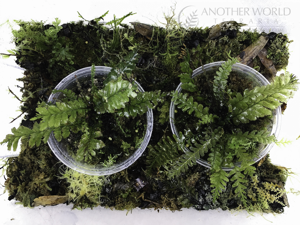 Two potted Cephalomanes javanicum plants in a plastic grow bin with other filmy ferns