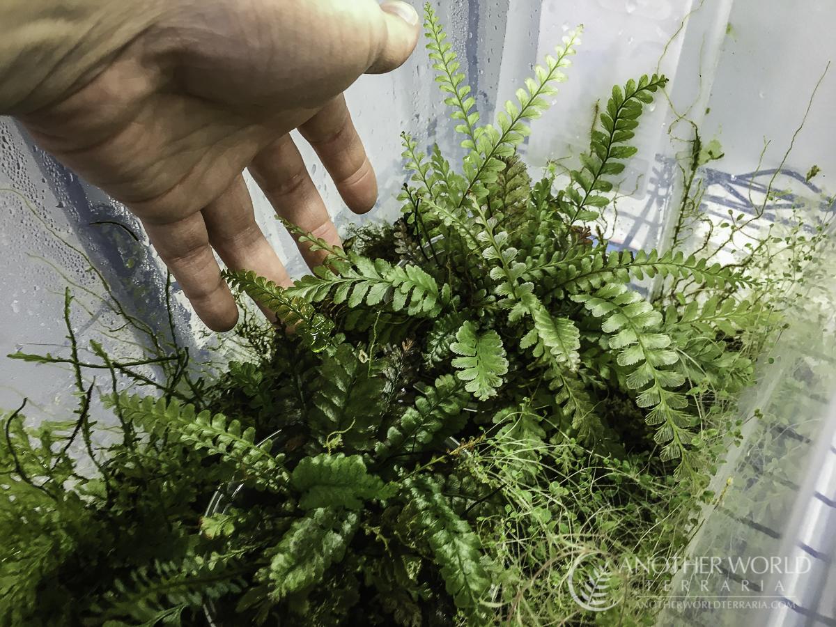 Cephalomanes javanicum in a filmy fern grow bin setup