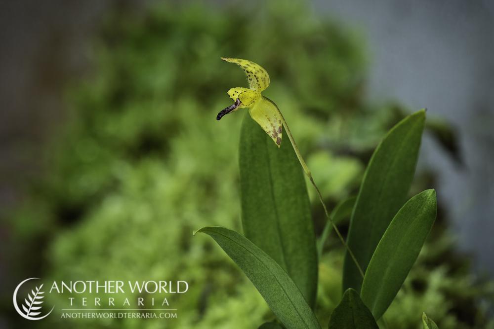 Bulbophyllum maquilingense - plant and bloom
