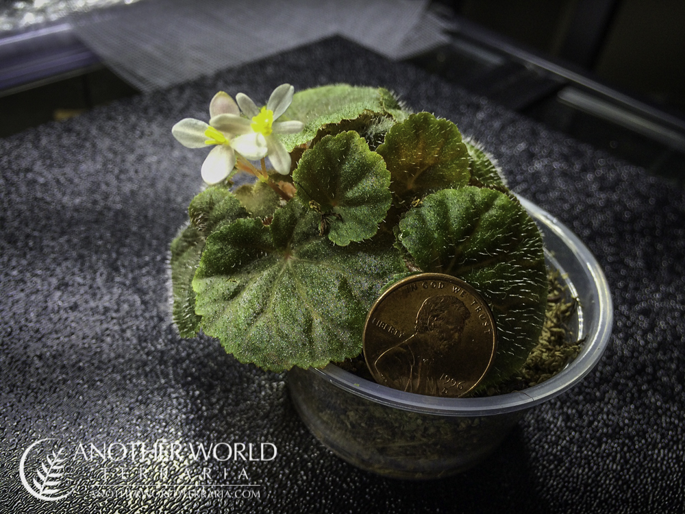Begonia hoehneana in bloom, next to penny for scale