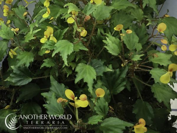 Begonia prismatocarpa in bloom