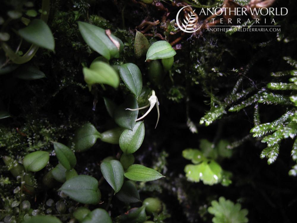 Bulbophyllum mucronatum in bloom