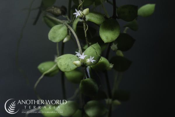 Dischidia nummularia in bloom
