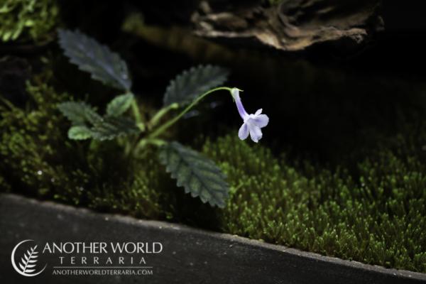 Sinningia muscicola in bloom