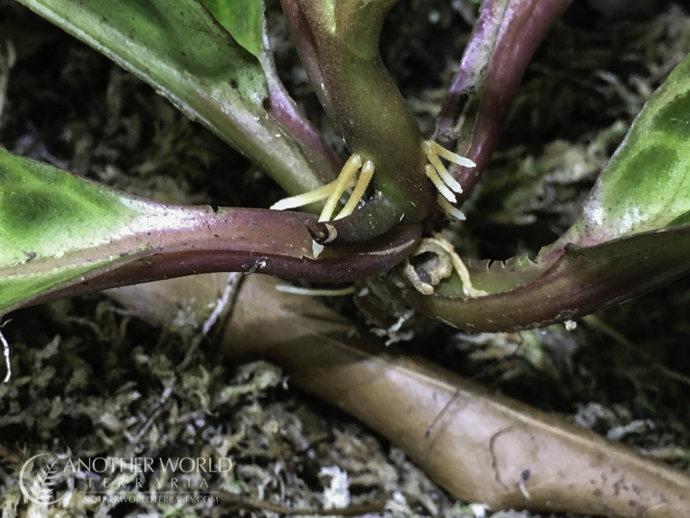 Labisia sp. Turtle Back new roots growing off stems
