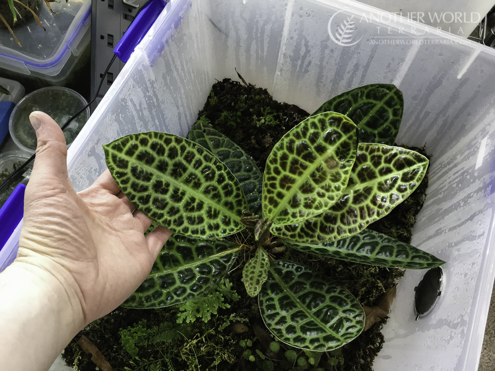 Labisia sp. Turtle Back full plant view with my hand for size reference