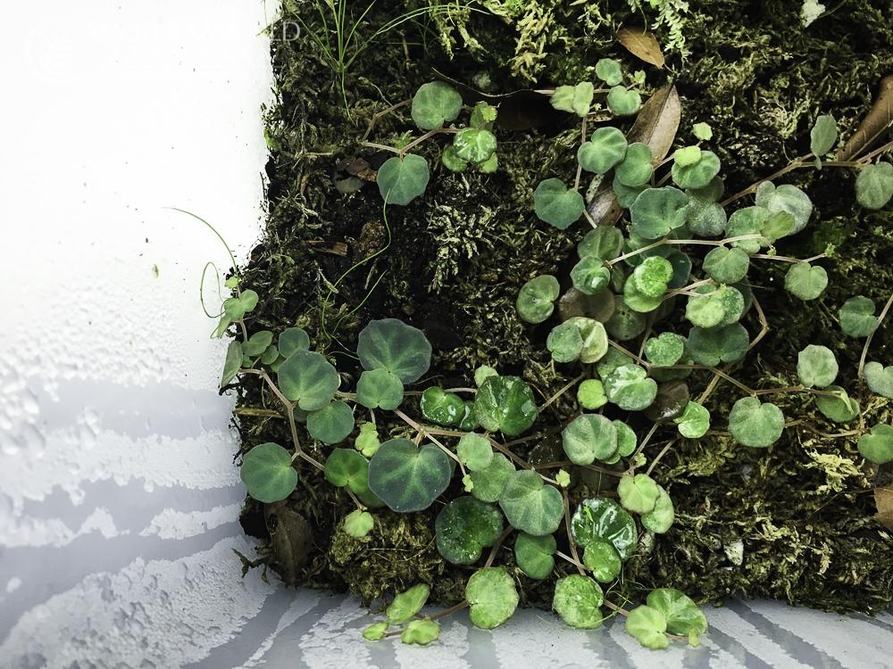Begonia lichenora growing in the Labisia bin