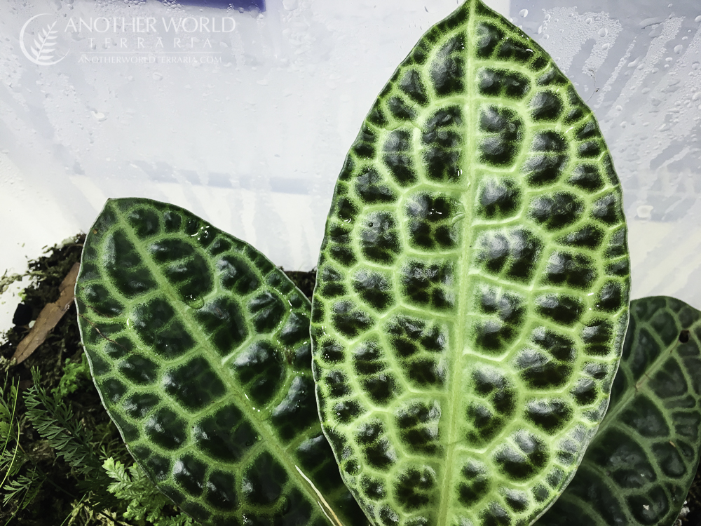 Labisia sp. Turtle Back leaf texture and pattern close up